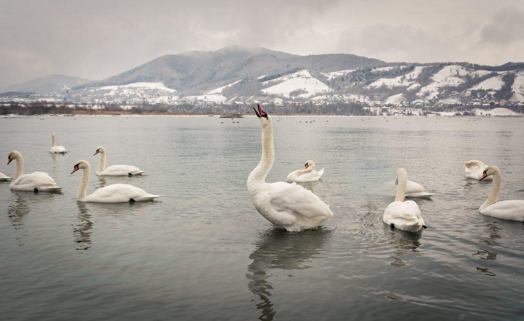 Swan photo by Amariei Mihai on Unsplash